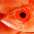 a picture of a red herring fish